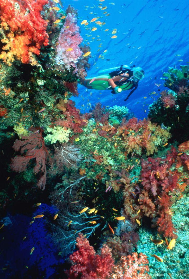Mergulhador do mergulhador inspeciona parede coral mole, Ilhas Fiji