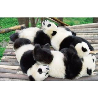 I'm in love!! Pandas!!