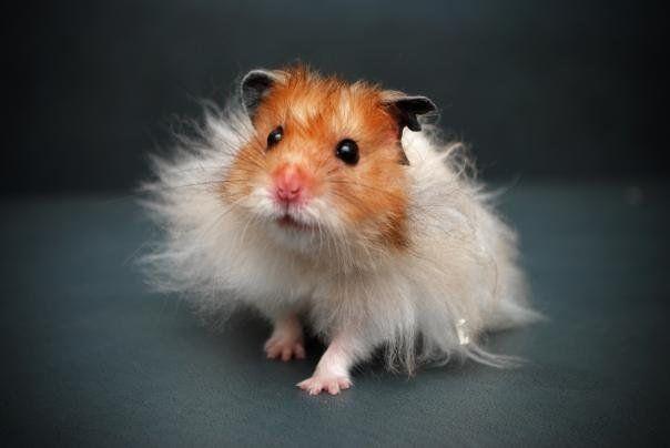 Its so fluffy!!!! Its a teddy bear hamster. Isn't it sooooo cute @April Maheu
