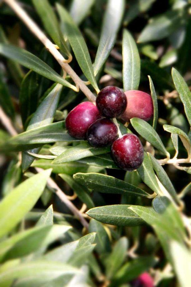 Olives ripen on a tree. Photo: Unknown / San Antonio Express-News