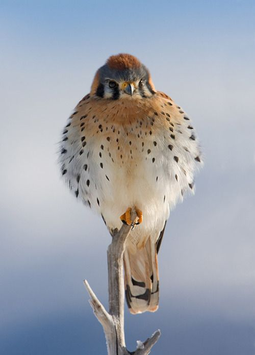 Poofy baby falcon