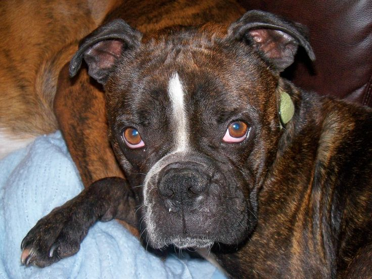 Miniature Boston Terrier Boxer Mix Here is why I love Boston Terrier