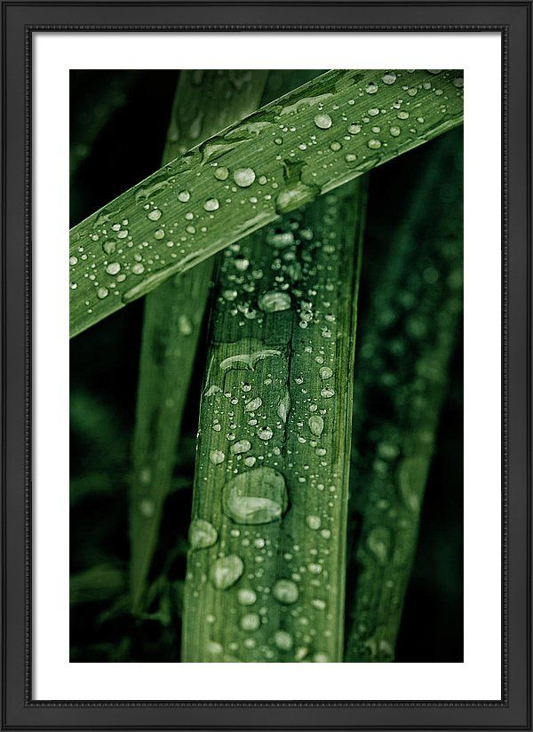 Grass Framed Print featuring the photograph Green Grass With Waterdrops by Oksana Ariskina on @pixels and @fineartamerica  Buy print and other product with my fine art photography online: www.oksana-ariskina.pixels.com   #OksanaAriskina  #FineArtPhotography #HomeDecor #FineArtPrint #PrintsForSale #Grass #Plant #Green #Spring #Summer #Drop #Tears #Teardrops #macro #Closeup