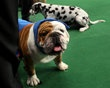 Manchester, a bulldog owned by Eduardo Hernendez of Mexico City, gets comforting treatment after winning an award of merit in breed at the 136th annual Westminster Kennel Club dog show, Monday, Feb. 13, 2012, in New York. (AP Photo/Craig Ruttle)
