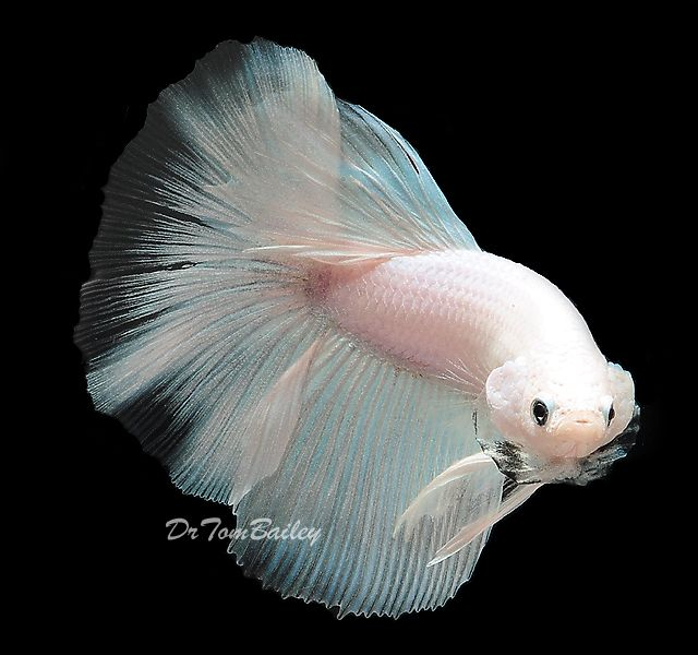 white betta fish champion stock white - Google Search
