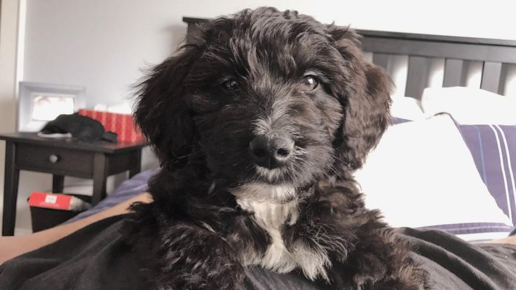 The newest (and the cutest) addition to our family is Finn our Aussie Doodle puppy. For anyone who knows me well (or not even that well) would know me as a crazy cat lady. I grew up with cats and …