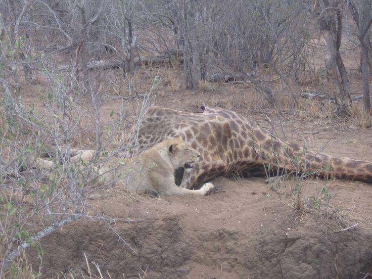Lion giraffe kill 3