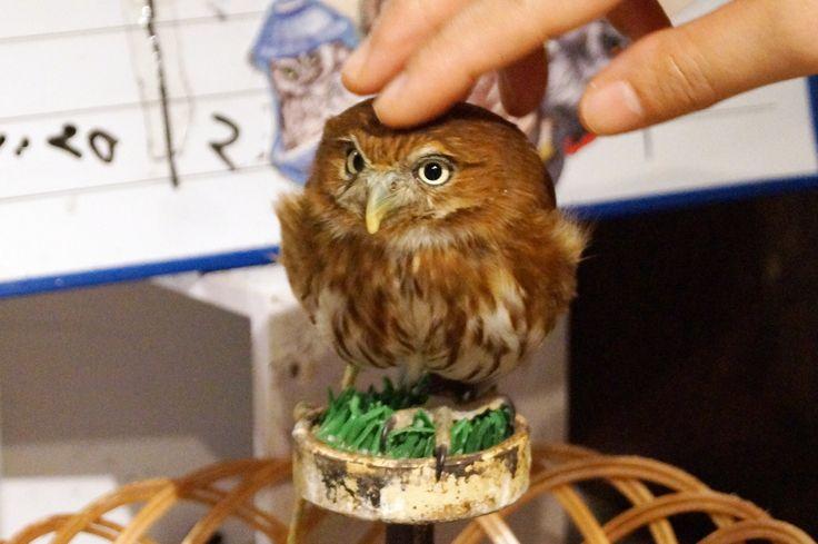 https://flic.kr/p/DyJrRM | Ferruginous pygmy owl | アカスズメフクロウ@鳥のいるカフェ 浅草店