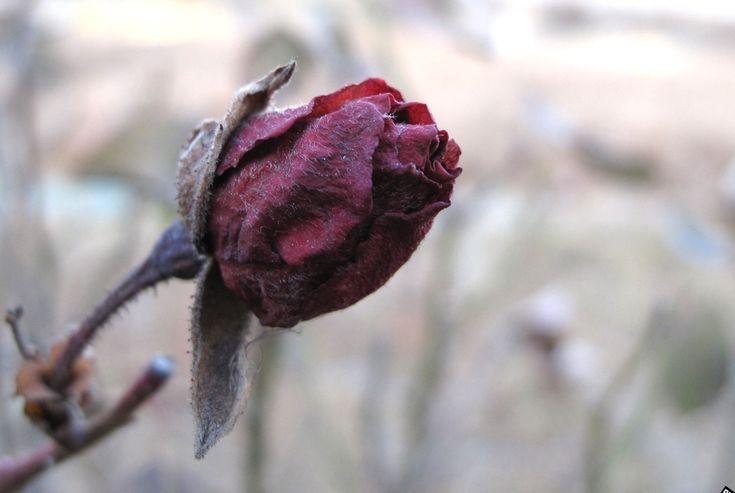 꽃봉우리 | 꽃피우지 못한 장미꽃 봉우리...