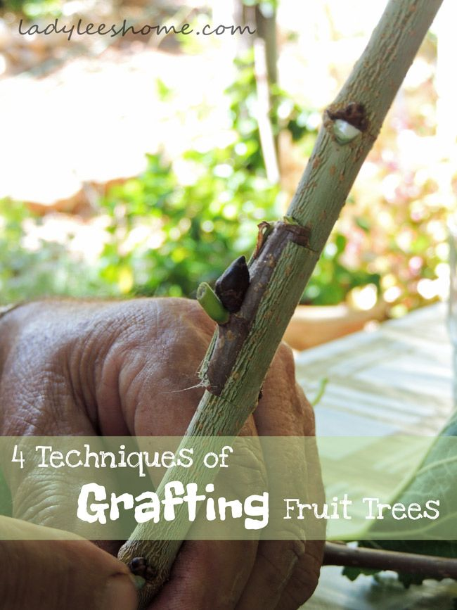 Grafting fruit trees is the joining of two fruit trees from the same family, so one tree can produce two verities of fruit. How to graft fruit trees...