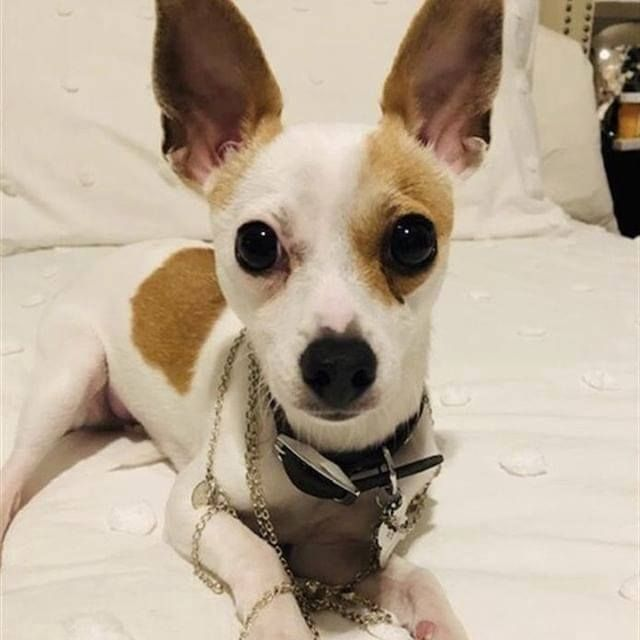 Lost Dog Lakeville Chihuahua Male Shy Do Not Chase Date Lost
