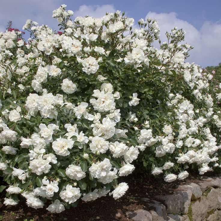 Roses In Garden: White Meidiland® Rose
