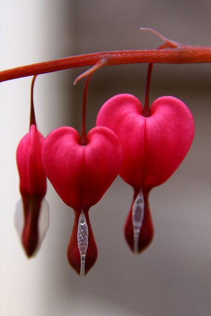 Bleeding heart (Lamprocapnos spectabilis) flower native to Asia