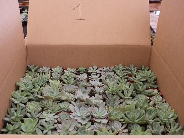 """Facebook Specials 100 rosette shaped succulents in plastic square 2"""" containers. bulk wholesale succulent prices at the succulent source - 1"""
