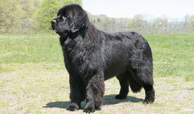 Newfoundland | Check Out The Best Dogs for Cold Weather! | Homesteading Pets by Pioneer Settler at http://pioneersettler.com/best-dogs-cold-weather/