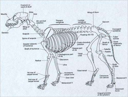 Dog body bones diagram residential electrical symbols 25 best school art project images on pinterest veterinary medicine rh pinterest com dog foot anatomy dog front leg anatomy ccuart Image collections
