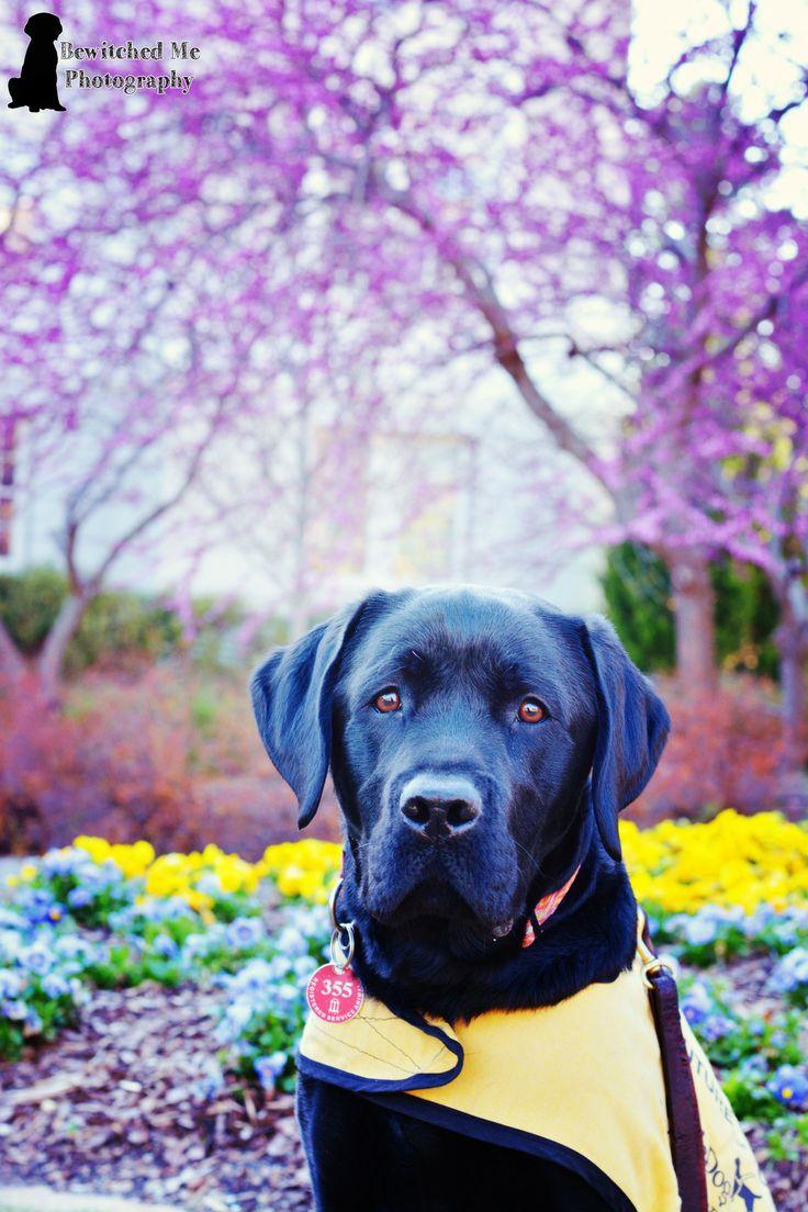 Spring Guide Dog in Training Follow me on Instagram! @agirlandhersetter www.agirlandhersetter.tumblr.com