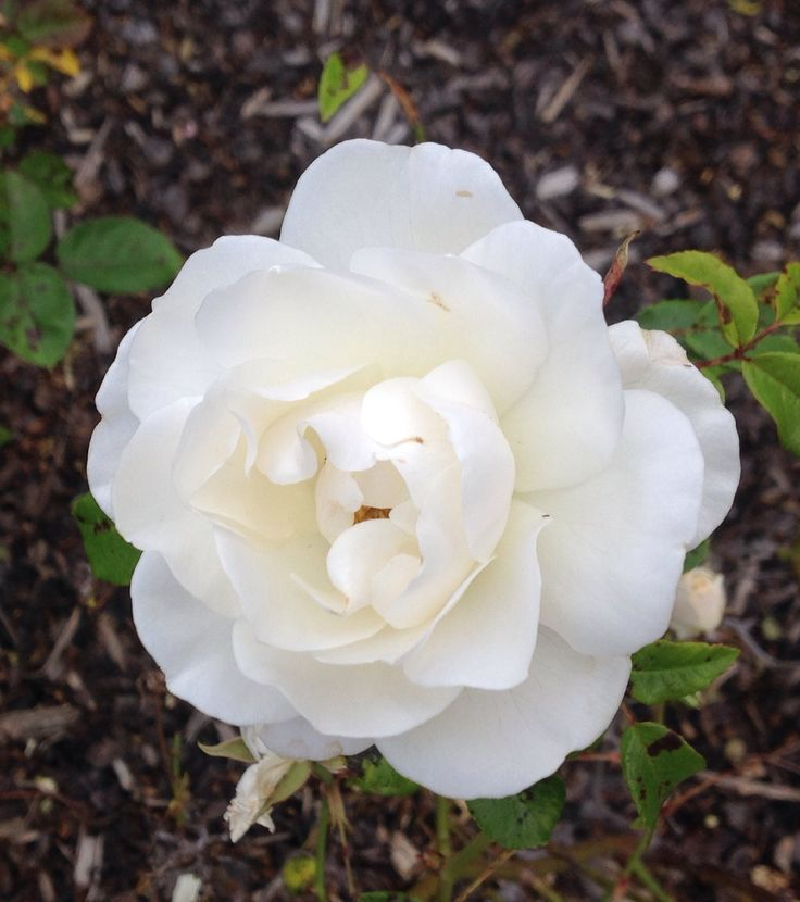 Summer in the garden, roses blooming