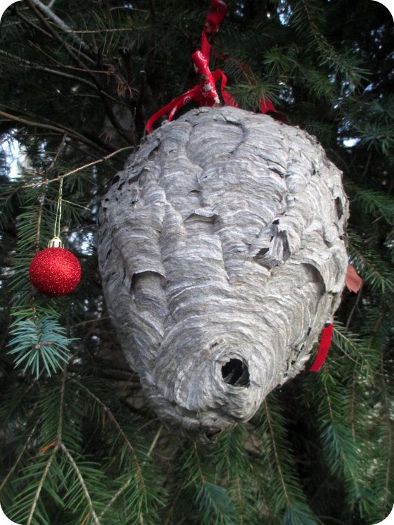 Beautiful Huge Fresh Hornets Nest Huge Paper Bee Hive