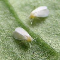 WhiteFly Spray  Roots 'n' Shoots: Pest Control: Biological control; organic & green recipes