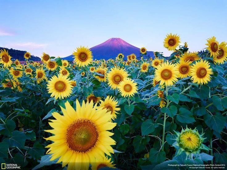 Photo Contest Amazing Photography Caption Planes Puzzle Online Nature Color Inspiration Sunflowers Airplanes