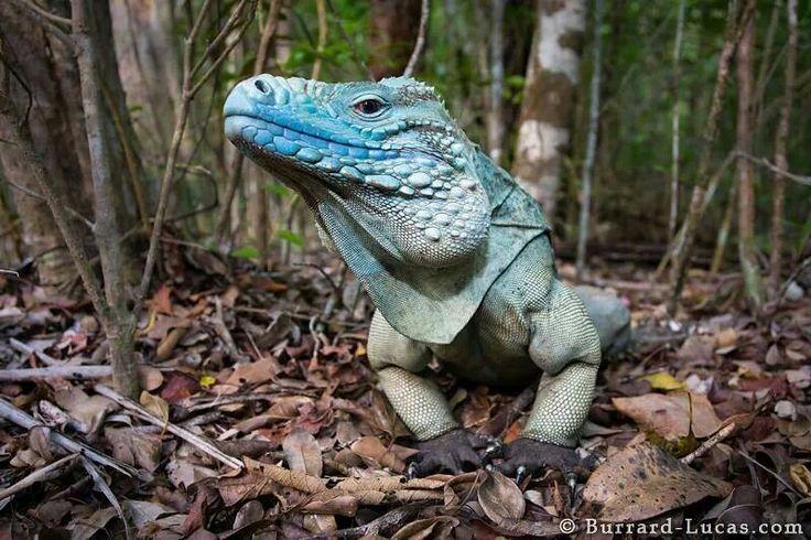 Camen Island Blue Iguana