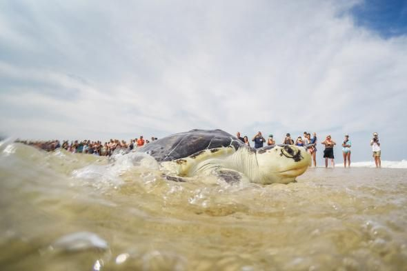 Summer is hatching season for Kemp's Ridley sea turtles, the world's most endangered sea turtle. So workers have their hands full right now ensuring the newborns get out to the ocean safely. Workers dig up the eggs & bring them to hatching facilities to keep them safe from predators, & release them into the wild. | Photo of released turtle swimming to sea by Esther Horvath | National Geographic