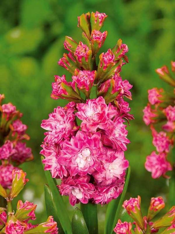 #Jacinthes à fleurs doubles 'Eros'