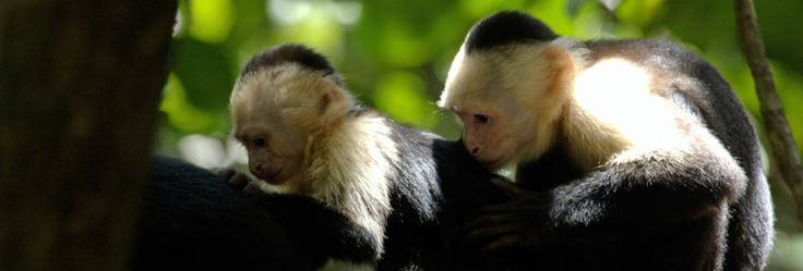 Monos capuchinos ó Cariblancos www.centrorescateparaisocarlisa.com