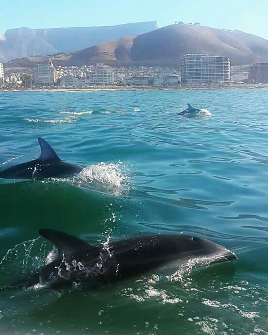 Dolphins in Table Bay, Cape Town
