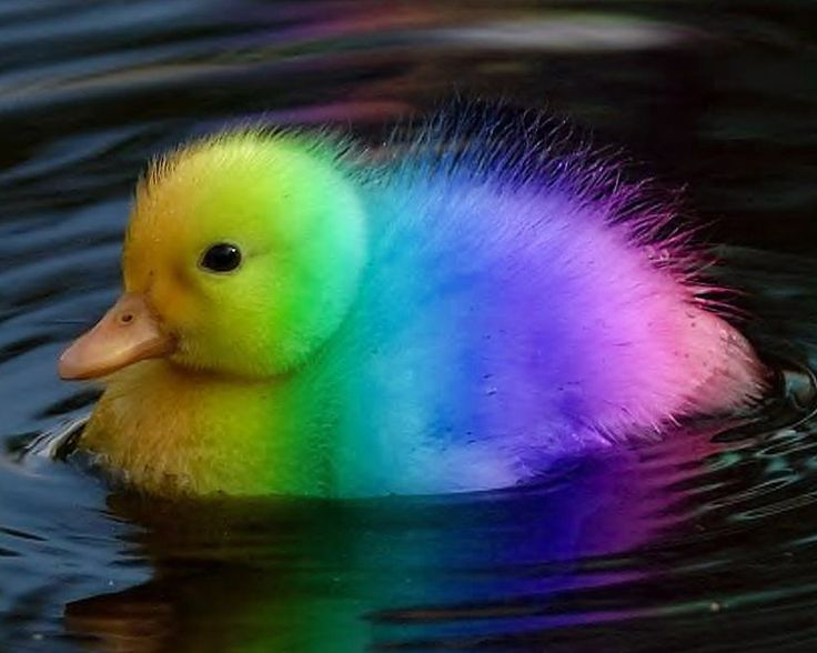 Image result for multi coloured duck