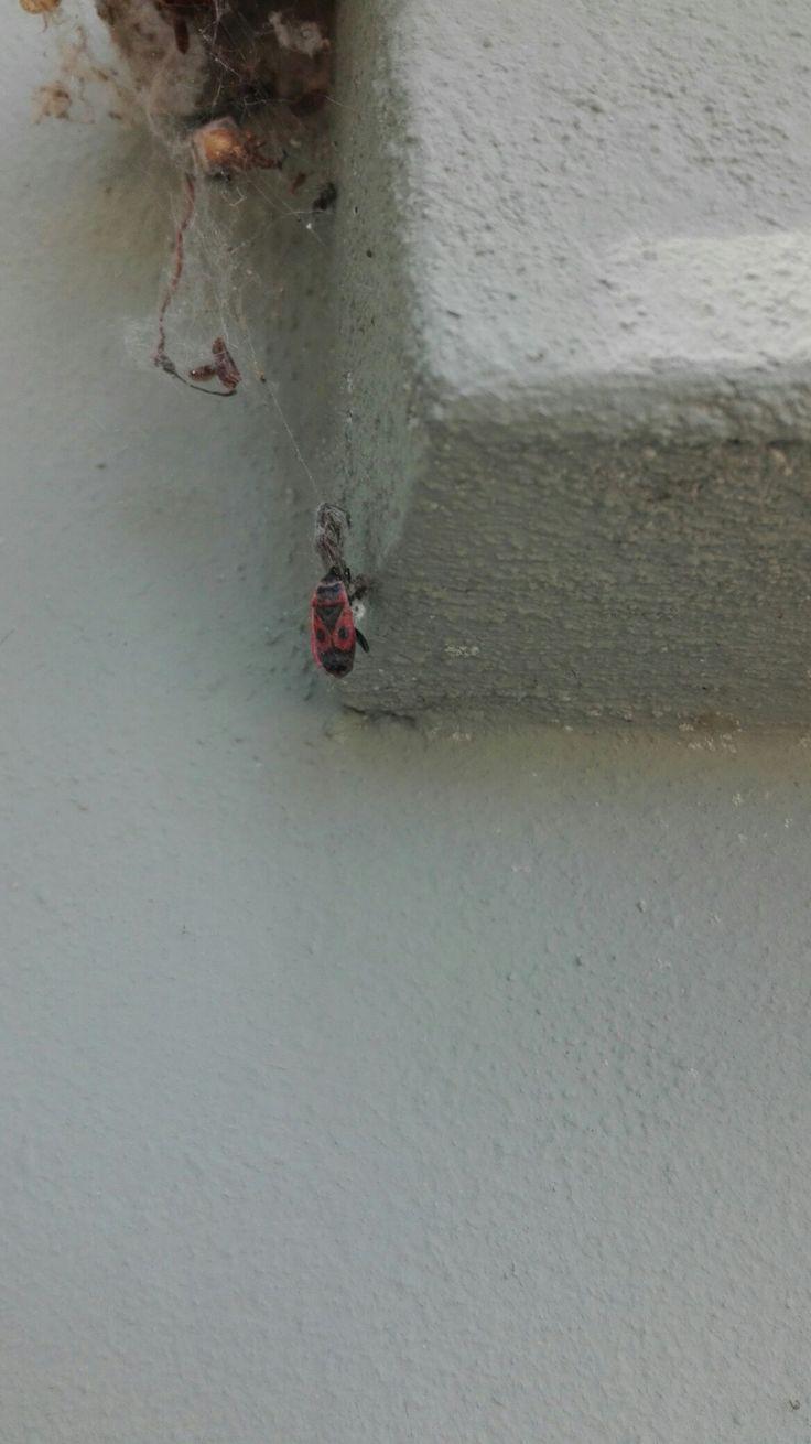 Ruměnice pospolná (Pyrrhocoris apterus) u Vojty Tomana před domem