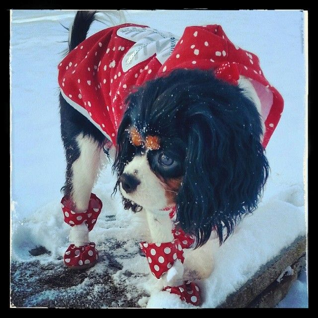 Marlo Ann, snow angel! (9 month old Cavalier King Charles Spaniel)