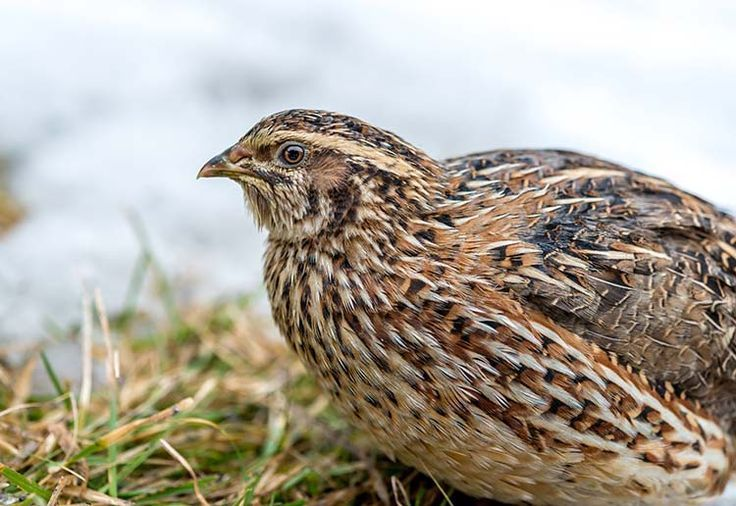 How to Raise Quail for Eggs and Meat   Self Sufficiency, Livestock and Homesteading Ideas by Survival Life at http://survivallife.com/how-to-raise-quail/