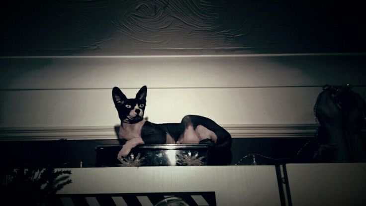 Sphynx cat... my mouse. Lioness.. hairless. Little girl