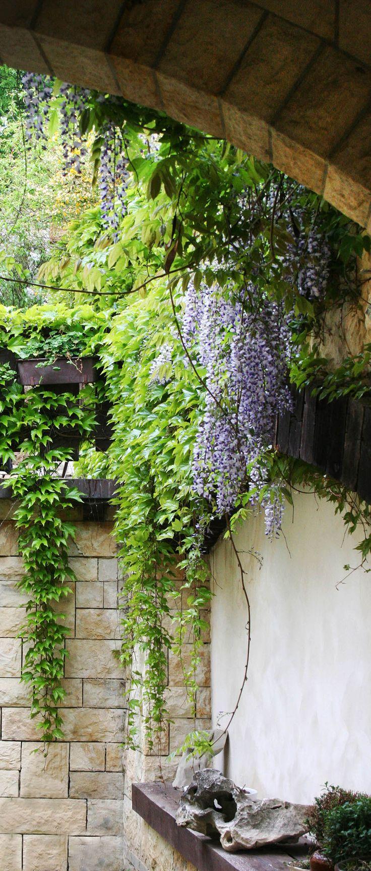 vistárie / wisteria