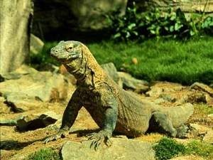 Komodo Dragons,The biggest Lizard in the world.