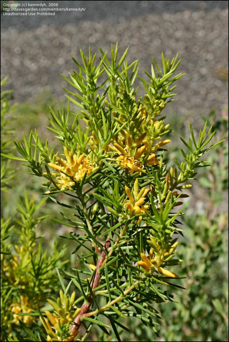 Persoonia juniperina, commonly known as the prickly geebung, is a shrub native to Australia. It is found across Tasmania and on mainland south-eastern Australia, from Green Cape on the New South Wales far south coast through Victoria and into south-eastern South Australia as far as Adelaide