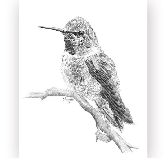 Hummingbird print from an original graphite pencil drawing bird wall decor hummingbird pencil drawing wall art bird sketch art print