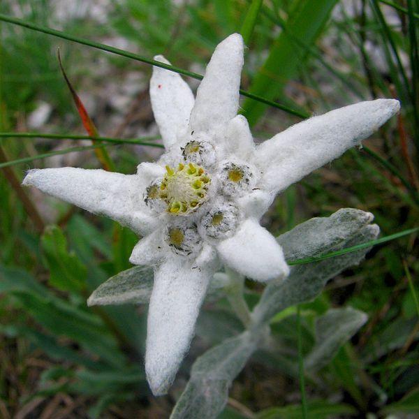 romanian mountain flower/ floare de colt