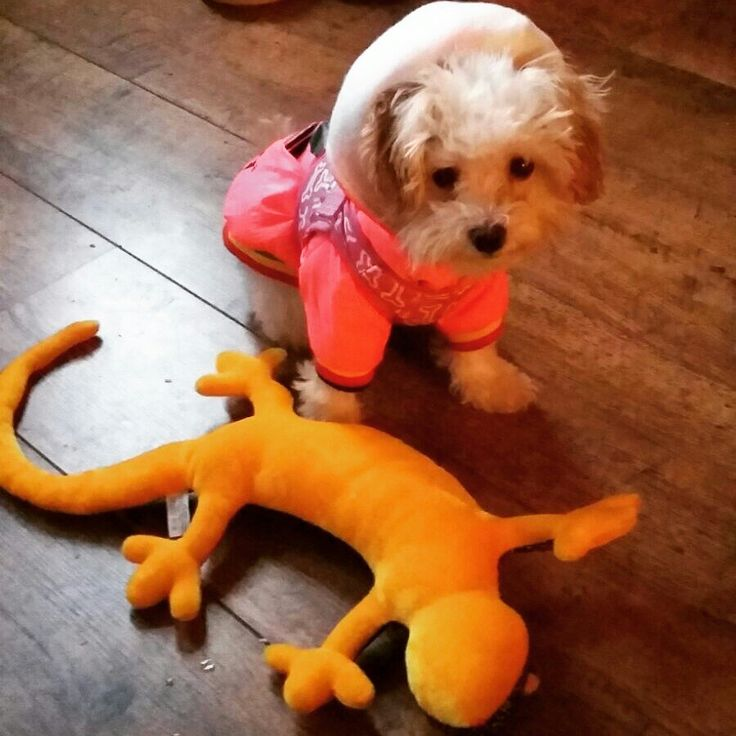 Contemplating  going out for the walk...or whether  to kill the lizard...again!  #puppy #puppylove #maltipoo