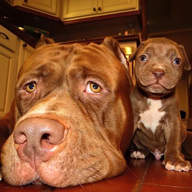 1653 best images about Dogs on Pinterest | American pit ...