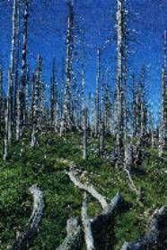 Forêt dévastée par les pluies acides