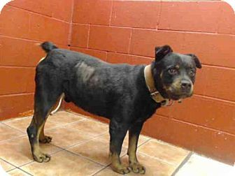 URGENT! Kill Shelter! Rottweiler Dog for adoption in Downey, California - MAJOR