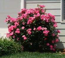 pink double knockout rose - Google Search  easy to grow and easier to start.