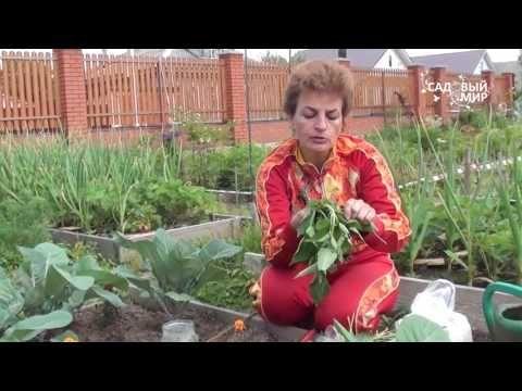 """Как защитить капусту от вредителей Гусеницы на капусте. Сайт """"Садовый мир""""…"""