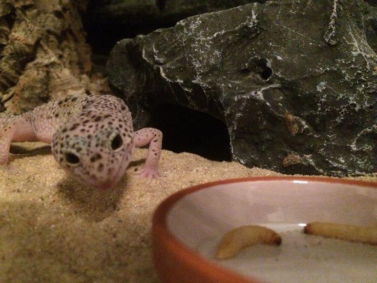 Mack snow, Leopard gecko