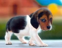 very small dogs that stay small forever - Google Search