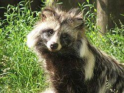Mårhund – Wikipedia