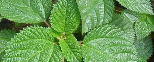 Il tè preparato con le foglie di ortica è estremamente utile per i diabetici.